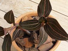 como cuidar da Ludísia Orquídea pipoca