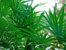 como cuidar da palmeira rafis raphis ráfia