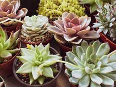Como cultivar suculentas dentro de casa